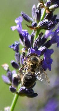 La lavande de Provence et les abeilles