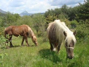chevaux-de-trait-maison-adele-verdon