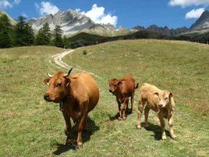 elevage-vaches-allaitantes-les-oules-souliers
