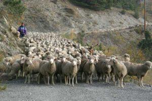 troupeau-transhumans-brebis-dans-le-queyras