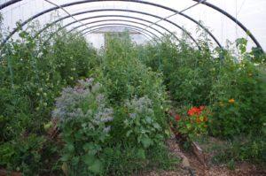 Serre avec des plants de tomate